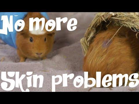 GUINEA PIGS - Guinea Pig Skin Problems