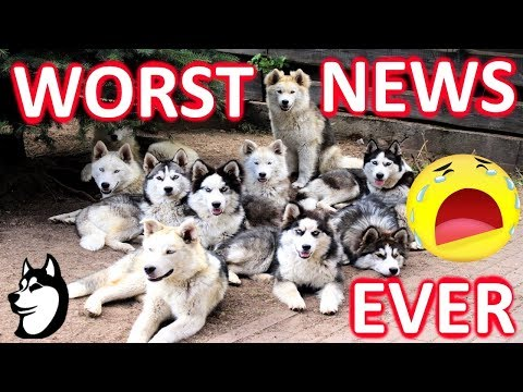 A Tragedy Has Hit The Husky Family!! :(