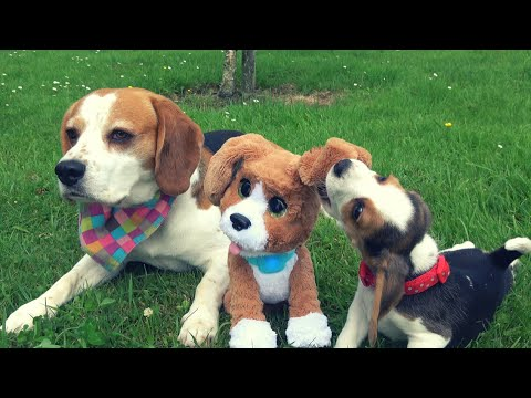Cute dogs and baby meet talking dog toy for a first time: Meet Charlie the beagle from Hasbro