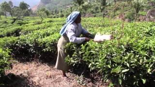 Tea Cutting, Munnar, Kerala, India