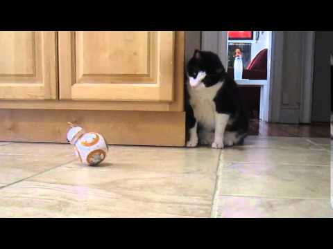 Thumbnail for Cat Video Sphero's BB-8 meets my CAT!