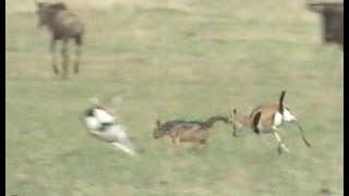 肉食獣が草食獣に追われる 草食獣たちの群れに入ってしまったジャッカル...