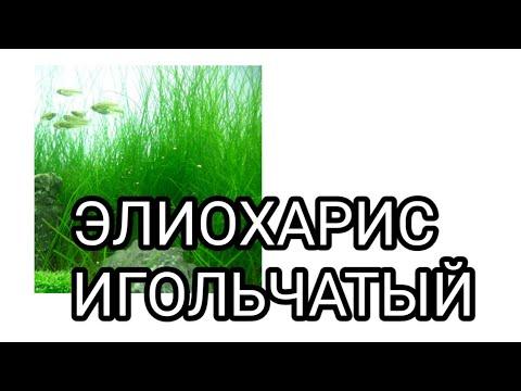 Элиохарис игольчатый.Аквариумное растение