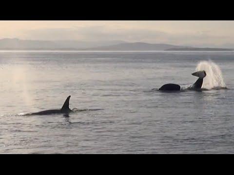 San Juan Island Orca Movie-Amazing!