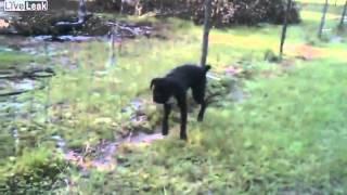 Собака мочится на электрический забор.
