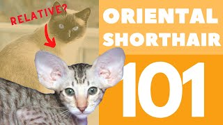 The Oriental Shorthair Cat 101 : Breed & Personality