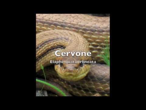 Cervone fischiante youtube for Serpente cervone
