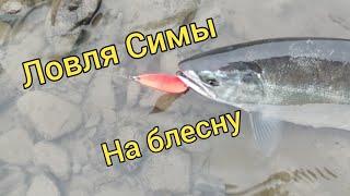И вновь за Симой Ловля Симы на блесну Посадка кедров Сахалинская рыбалка Sakhalin fishing