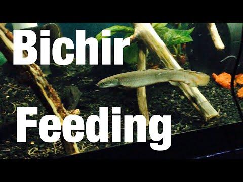 Large Bichir Fish Aquarium Feeding On Guppies