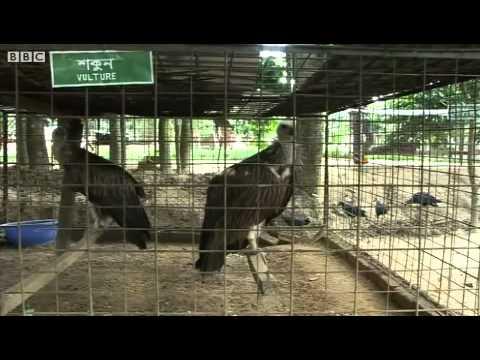Sitesh Babu, The former hunter saving Bangladesh's wildlife, BBC News.