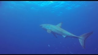 Great White while diving the Duane in Key Largo, Florida with a GoPro HD Hero 3 Black.