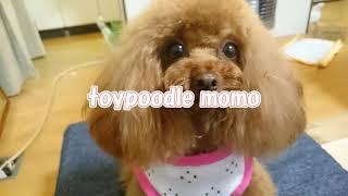 MOMOは可愛い過ぎる親バカ動画!【トイプードルのモモ】toypoodle
