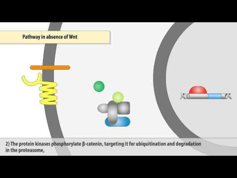 The Wnt/β-catenin signaling pathway