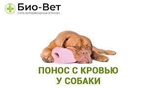 Понос с кровью у собаки. Ветеринарная клиника Био-Вет.