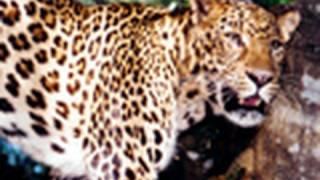 """AMUR LEOPARD """"Almost Extinct""""- Big Cat TV"""