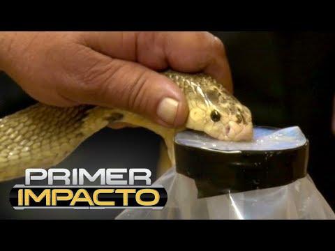 El veneno de una temida serpiente podría ser el antídoto contra el dolor