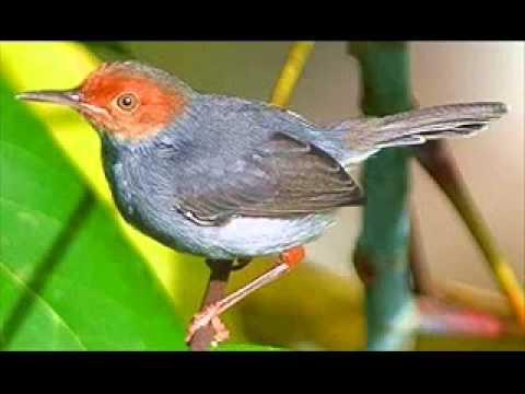 Suara Burung Prenjak Betina Youtube