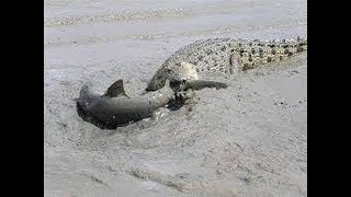 Crocodile vs Shark real Fight To Death - Wild Animals Attack