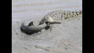 Crocodile vs Shark real Fight To Death - Wild Animals Attack