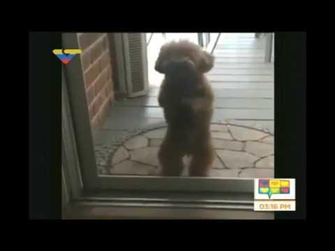 perro baila la constituyente