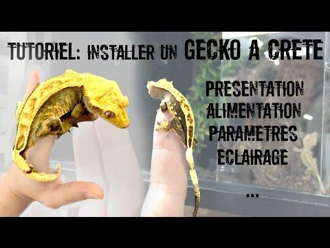 TUTO Installation d'un Gecko à crête (Correlophus ciliatus)