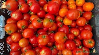 Собираем только красные томаты с куста. Урожай томатов. Сбор томатов.