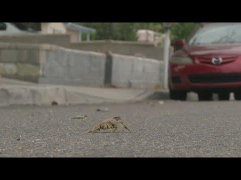 Dozens Of Crawdads Mysteriously Show Up In Albuquerque Neighborhood