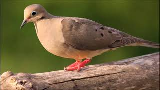 Dove Call Sound   Free Sound Effects   Animal Sounds