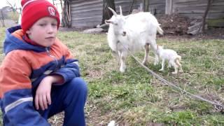 Признаки предстоящего окота козы, у козы двойня.