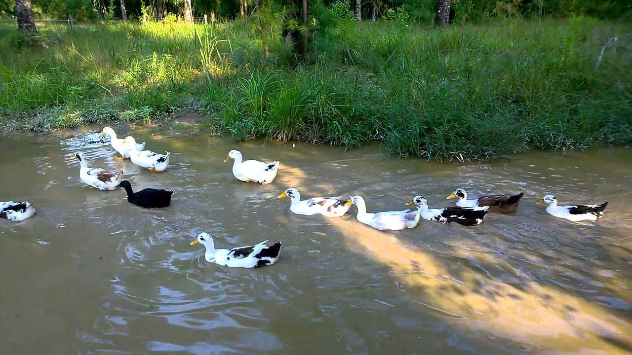 Ancona and Cayuga ducks going for a swim