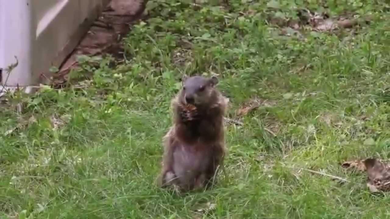 Groundhog in the Backyard... - YouTube