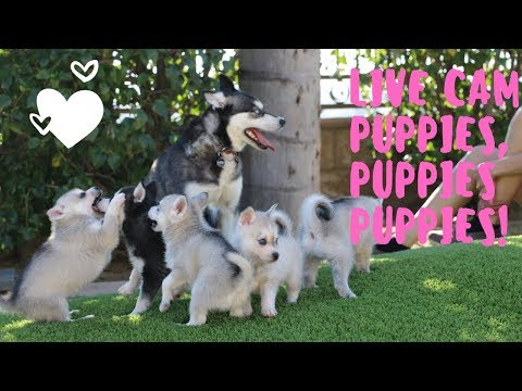 Cute Alaskan Klee Kai puppies Live Cam Mini Husky Puppies