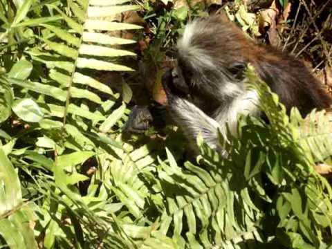 Zanzibar red colobus Monkey.avi