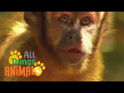 Thumbnail: MONKEY: Animals for children. Kids videos. Kindergarten | Preschool learning