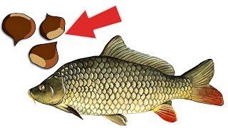 Карась и карп ловятся на этот орех лучше чем на любые бойлы Как ловить рыбу на орехи