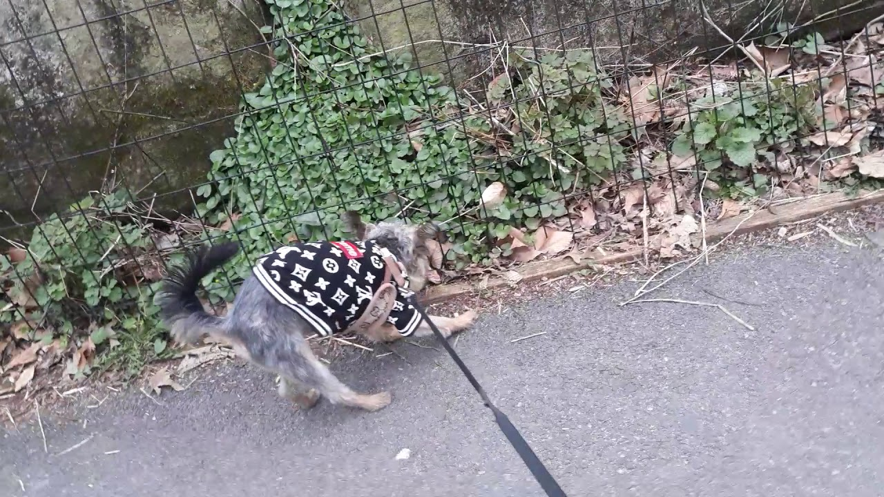 An afternoon walk in Central park in my LV bomber jacket with Gucci harness
