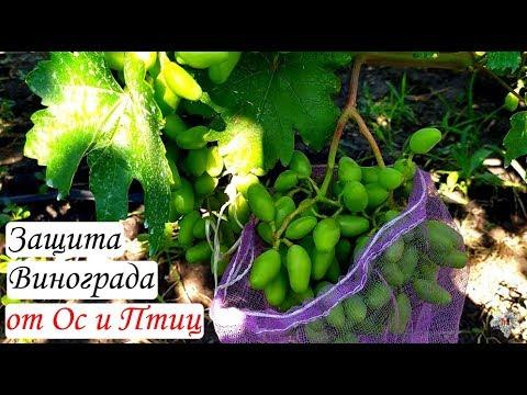 Чего категорически нельзя делать при защите винограда от ос