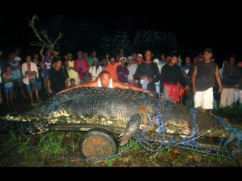 Lolong the World's Largest Crocodile found in the ...