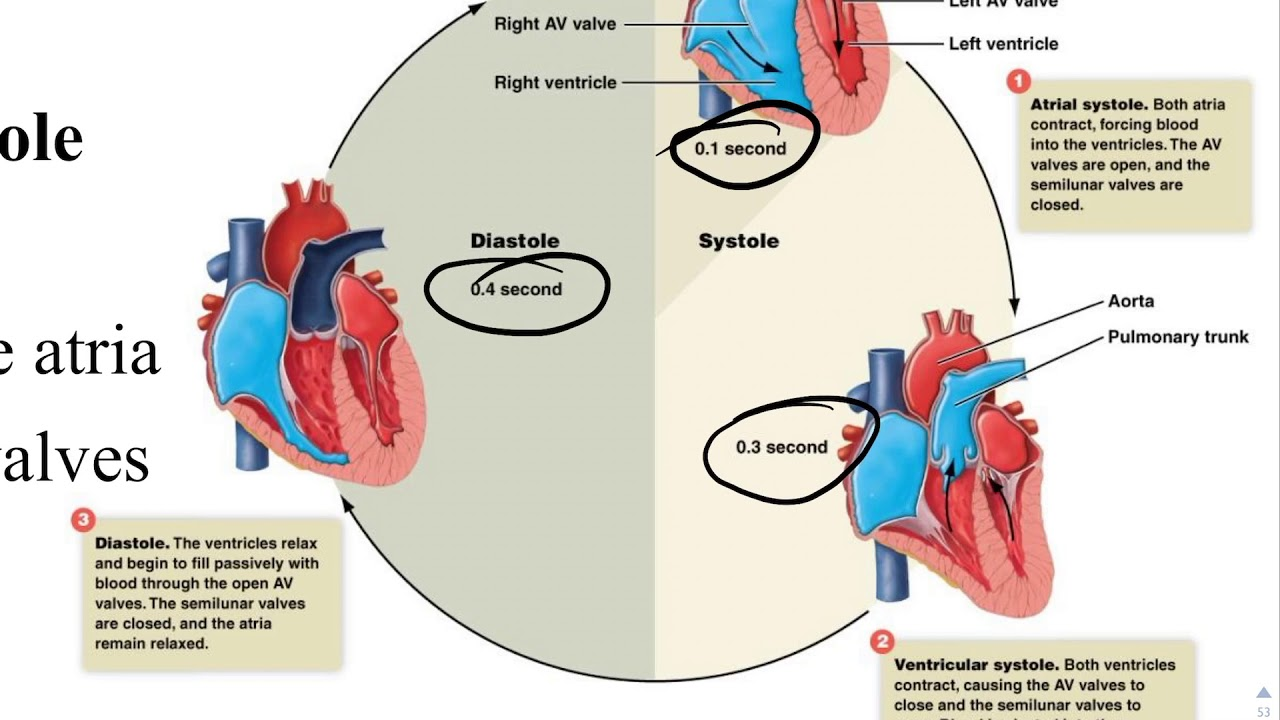| blood,heart and blood vessels ( lesson 5 & 6) | - YouTube