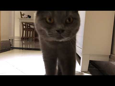 British shorthair Cat comes when called