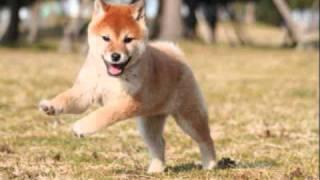 2010年12月18日日本犬舍作出幼柴(雌)
