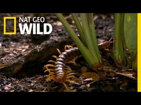 Panay Giant Centipede (Scolopendra cf  subcrustalis) by Paul