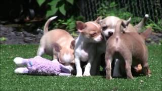 Chihuahua Puppies 24th June 2016