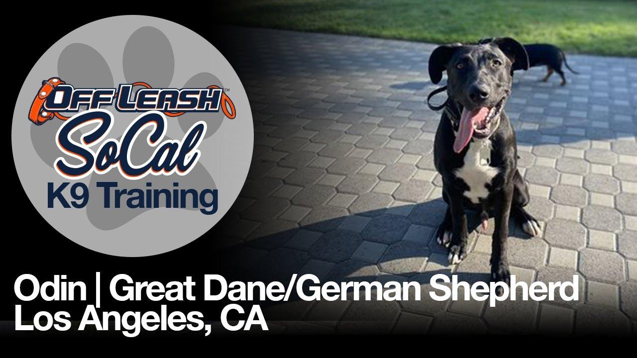 Odin | Great Dane German Shepherd Mix | Los Angeles, CA