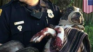 В собаку выстрелили из пистолета, затем привязали к рельсам и оставили умирать(Это Кабела, 2-летний микс питбуля. Очень живучая собака. В полицию Флориды в среду поступило несколько звонк..., 2015-03-09T09:16:18.000Z)