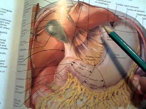 58. Peritoneum (parietal and visceral), peritoneal cavity and ...