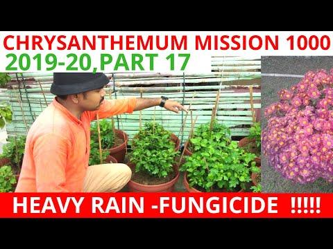 chrysanthemum-in-heavy-rain,-what-to-do,-chrysanthemum-mission-1000,-2019-20,part-17