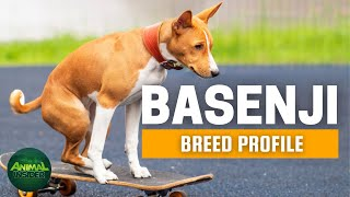 Basenji Dogs 101 | Are Basenjis Good Pets?
