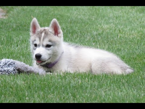 Introducing Memphis! Our New Siberian Husky Puppy!