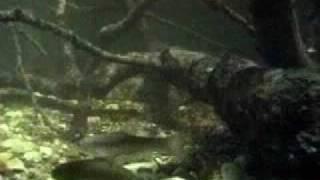 Дальневосточная мягкотелая черепаха китайский трионикс
